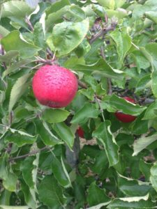 rosh-hashanah-apple